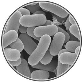 乳酸菌のはたらき
