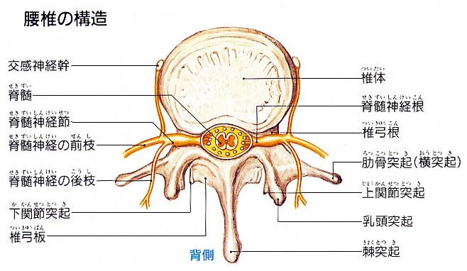 脊椎は背骨の骨、脊髄は骨の中身の神経!